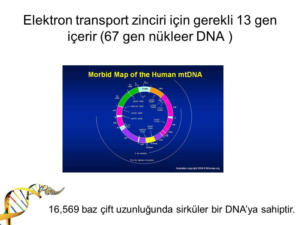 Mitokondri sayısı Oosit: 100 000 Blastosist: 1 000 Primordiyal germ hücresi: 10