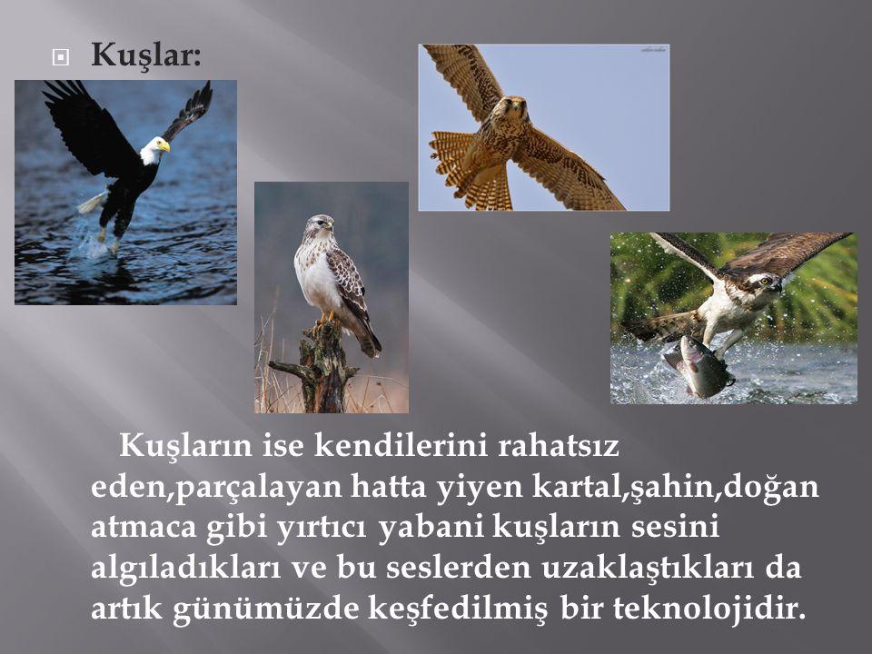  Kuşlar: Kuşların ise kendilerini rahatsız eden,parçalayan hatta yiyen kartal,şahin,doğan atmaca gibi yırtıcı yabani kuşların sesini algıladıkları ve