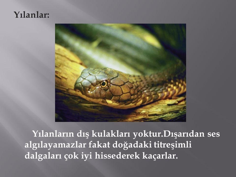 Yılanlar: Yılanların dış kulakları yoktur.Dışarıdan ses algılayamazlar fakat doğadaki titreşimli dalgaları çok iyi hissederek kaçarlar.