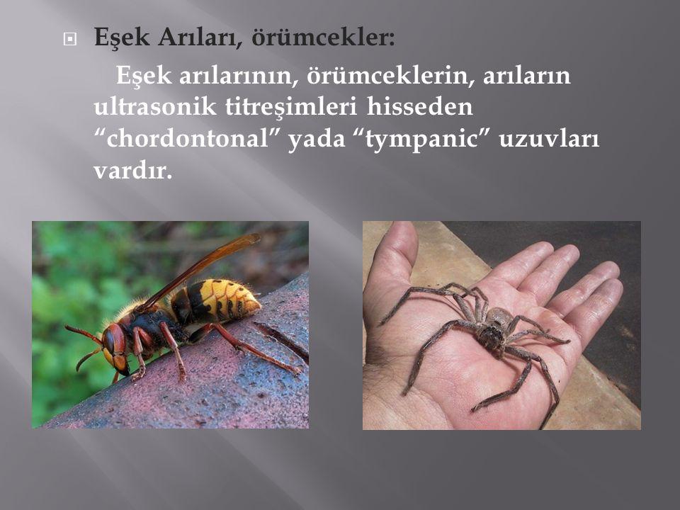 """ Eşek Arıları, örümcekler: Eşek arılarının, örümceklerin, arıların ultrasonik titreşimleri hisseden """"chordontonal"""" yada """"tympanic"""" uzuvları vardır."""