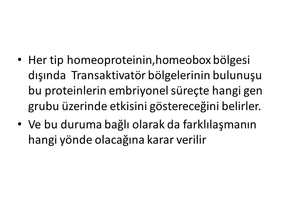Her tip homeoproteinin,homeobox bölgesi dışında Transaktivatör bölgelerinin bulunuşu bu proteinlerin embriyonel süreçte hangi gen grubu üzerinde etkis