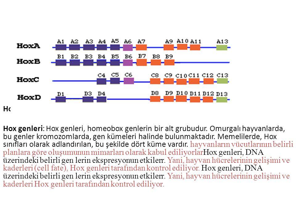 Hox Hox genleri: Hox genleri, homeobox genlerin bir alt grubudur. Omurgalı hayvanlarda, bu genler kromozomlarda, gen kümeleri halinde bulunmaktadır. M