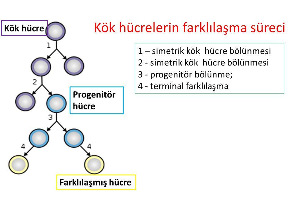 Kök hücrelerin farklılaşma süreci 1 – simetrik kök hücre bölünmesi 2 - simetrik kök hücre bölünmesi 3 - progenitör bölünme; 4 - terminal farklılaşma K