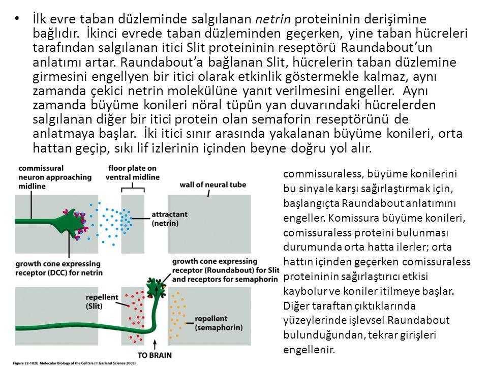 İlk evre taban düzleminde salgılanan netrin proteininin derişimine bağlıdır. İkinci evrede taban düzleminden geçerken, yine taban hücreleri tarafından