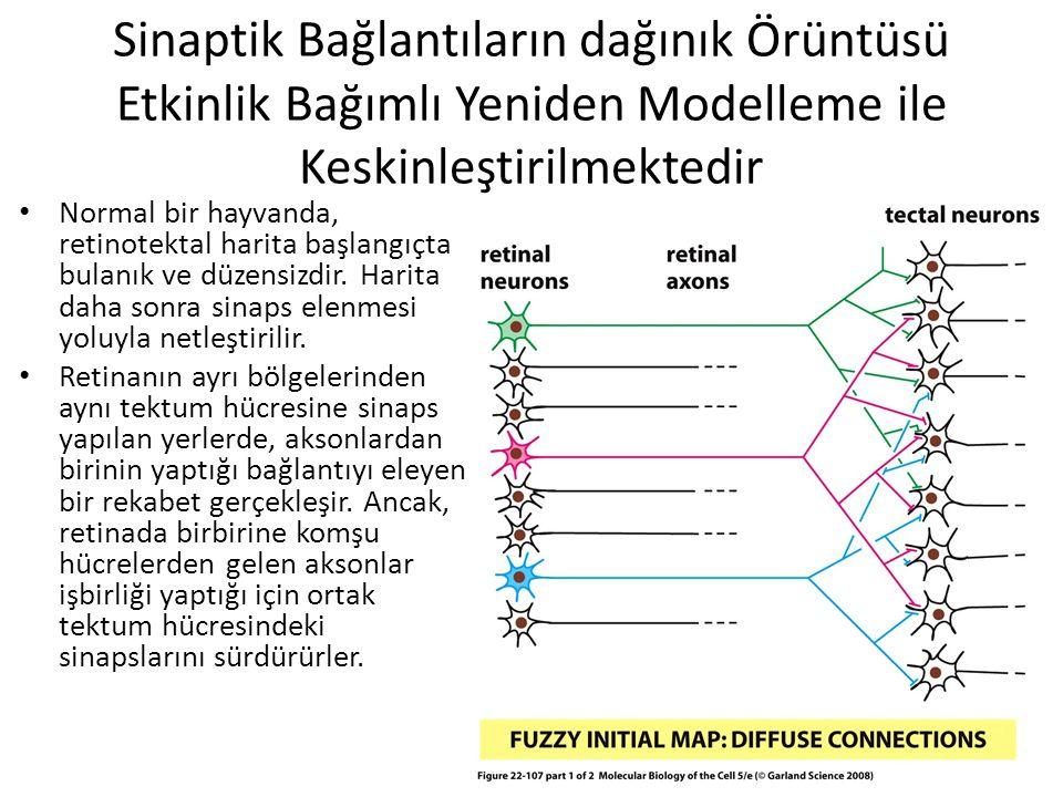Sinaptik Bağlantıların dağınık Örüntüsü Etkinlik Bağımlı Yeniden Modelleme ile Keskinleştirilmektedir Normal bir hayvanda, retinotektal harita başlang