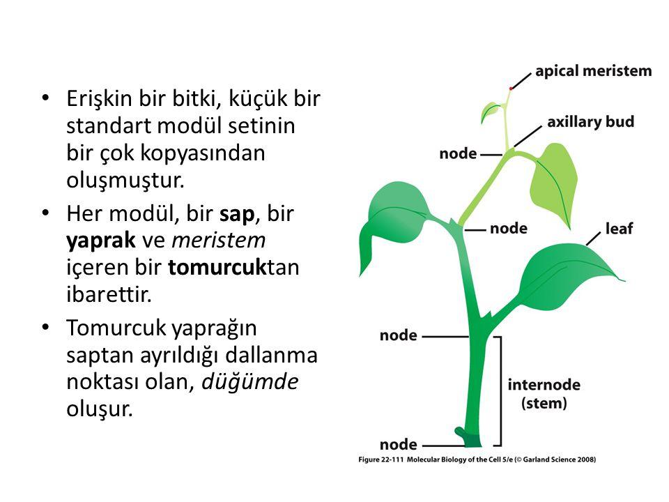 Erişkin bir bitki, küçük bir standart modül setinin bir çok kopyasından oluşmuştur. Her modül, bir sap, bir yaprak ve meristem içeren bir tomurcuktan