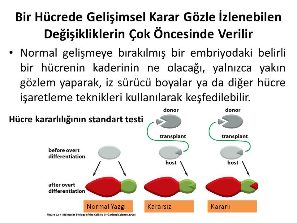 Bir Hücrede Gelişimsel Karar Gözle İzlenebilen Değişikliklerin Çok Öncesinde Verilir Normal gelişmeye bırakılmış bir embriyodaki belirli bir hücrenin