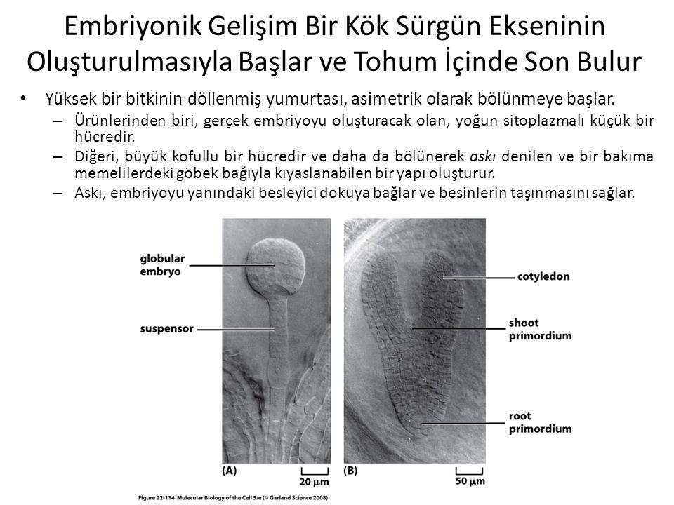 Embriyonik Gelişim Bir Kök Sürgün Ekseninin Oluşturulmasıyla Başlar ve Tohum İçinde Son Bulur Yüksek bir bitkinin döllenmiş yumurtası, asimetrik olara