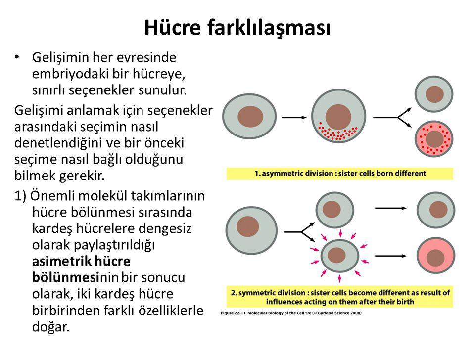Hücre farklılaşması Gelişimin her evresinde embriyodaki bir hücreye, sınırlı seçenekler sunulur. Gelişimi anlamak için seçenekler arasındaki seçimin n