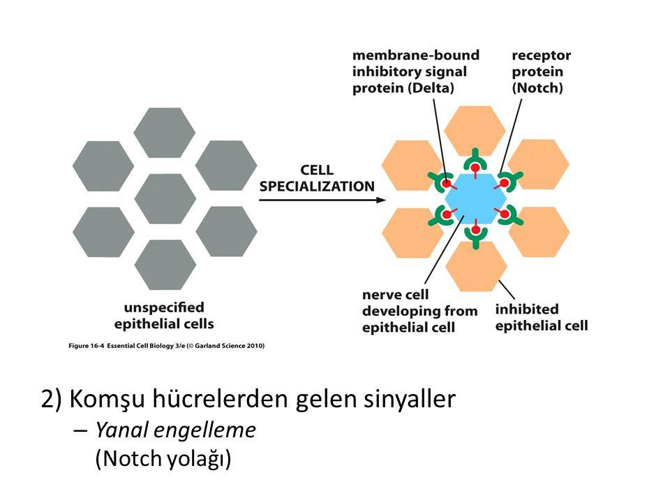 2) Komşu hücrelerden gelen sinyaller – Yanal engelleme (Notch yolağı)