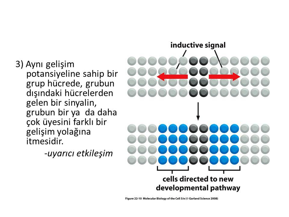 3) Aynı gelişim potansiyeline sahip bir grup hücrede, grubun dışındaki hücrelerden gelen bir sinyalin, grubun bir ya da daha çok üyesini farklı bir ge