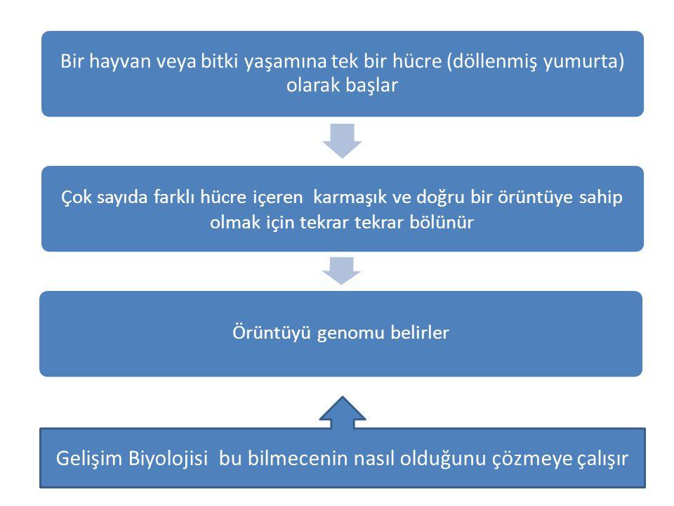 Hücre farklılaşması Gelişimin her evresinde embriyodaki bir hücreye, sınırlı seçenekler sunulur.