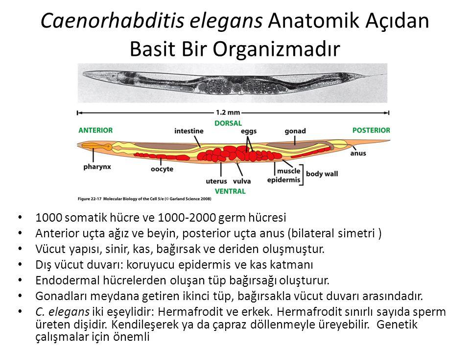 Caenorhabditis elegans Anatomik Açıdan Basit Bir Organizmadır 1000 somatik hücre ve 1000-2000 germ hücresi Anterior uçta ağız ve beyin, posterior uçta