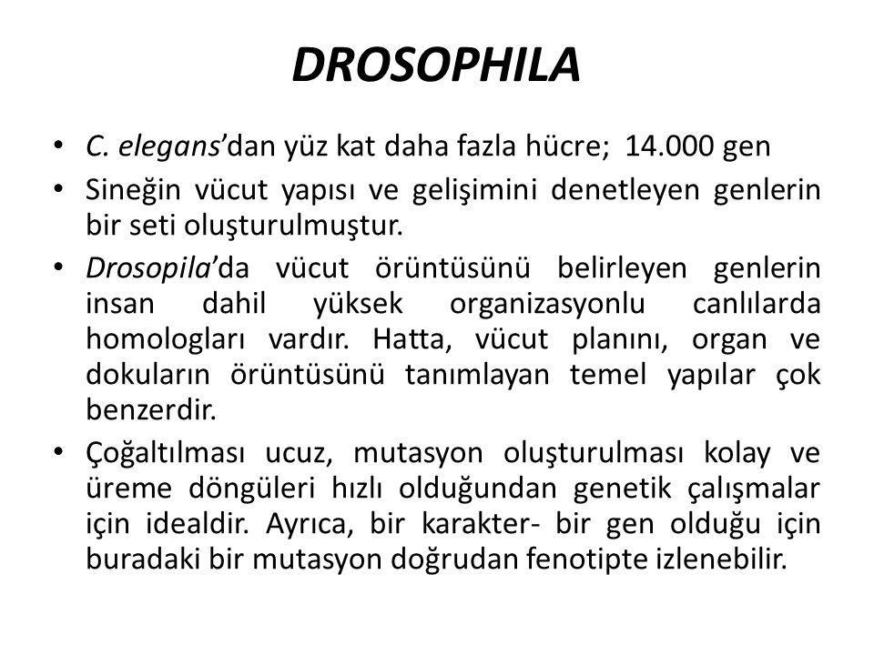 DROSOPHILA C. elegans'dan yüz kat daha fazla hücre; 14.000 gen Sineğin vücut yapısı ve gelişimini denetleyen genlerin bir seti oluşturulmuştur. Drosop