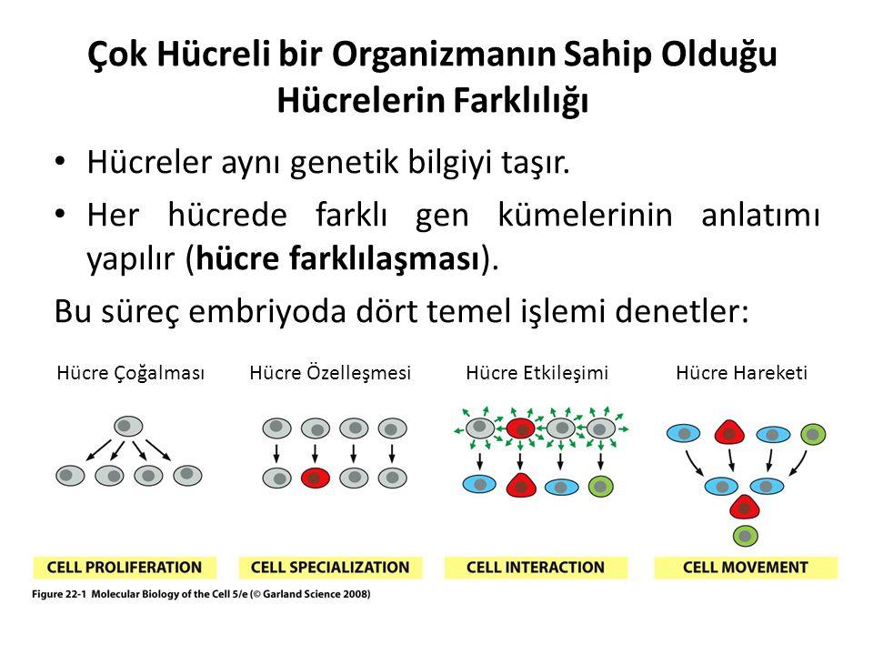 Hücreler aynı genetik bilgiyi taşır. Her hücrede farklı gen kümelerinin anlatımı yapılır (hücre farklılaşması). Bu süreç embriyoda dört temel işlemi d