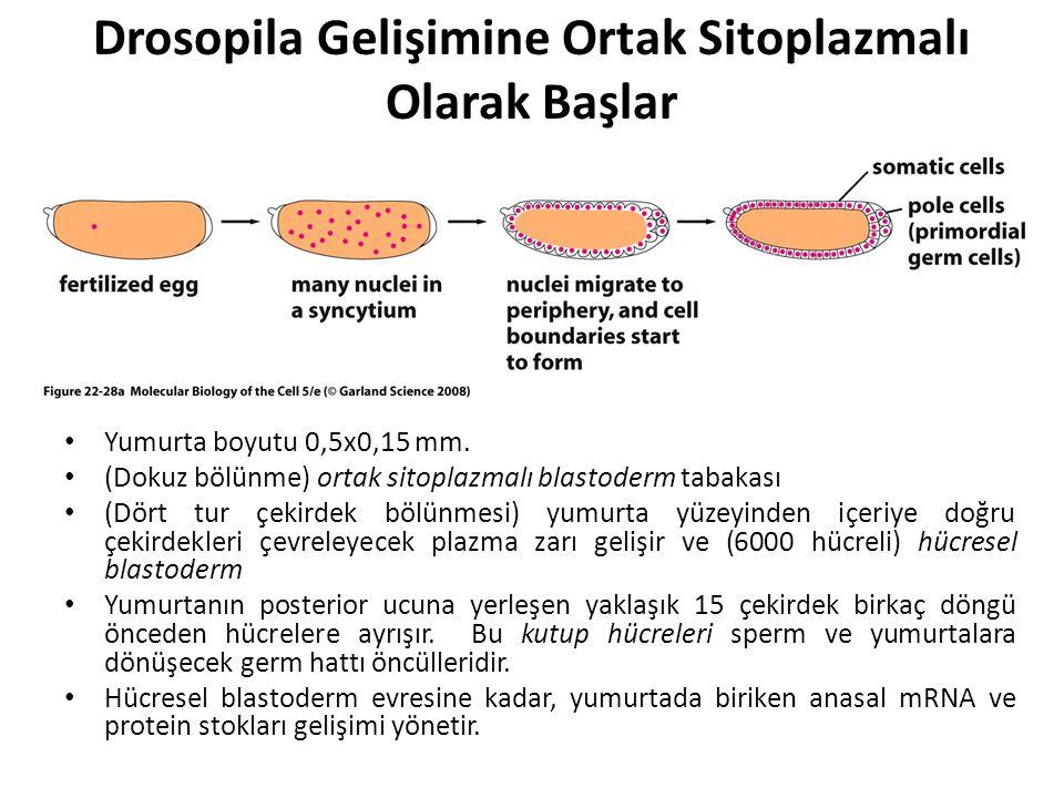 Drosopila Gelişimine Ortak Sitoplazmalı Olarak Başlar Yumurta boyutu 0,5x0,15 mm. (Dokuz bölünme) ortak sitoplazmalı blastoderm tabakası (Dört tur çek