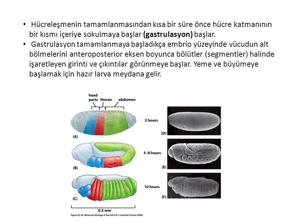 Hücreleşmenin tamamlanmasından kısa bir süre önce hücre katmanının bir kısmı içeriye sokulmaya başlar (gastrulasyon) başlar. Gastrulasyon tamamlanmaya