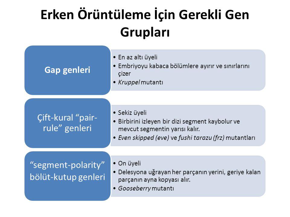 Erken Örüntüleme İçin Gerekli Gen Grupları En az altı üyeli Embriyoyu kabaca bölümlere ayırır ve sınırlarını çizer Kruppel mutantı Gap genleri Sekiz ü