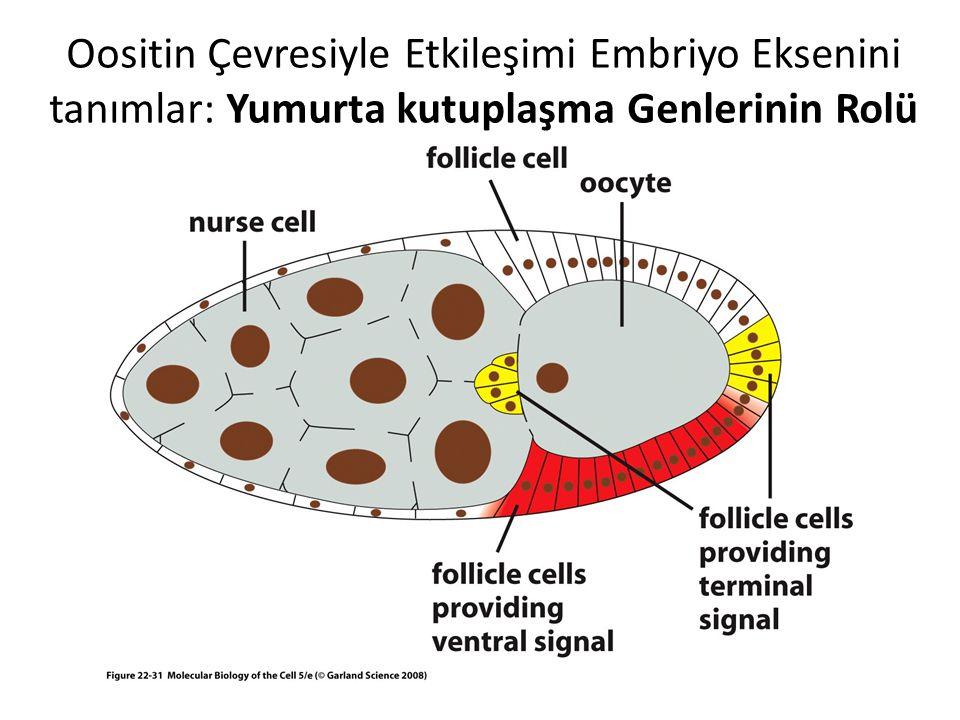 Oositin Çevresiyle Etkileşimi Embriyo Eksenini tanımlar: Yumurta kutuplaşma Genlerinin Rolü