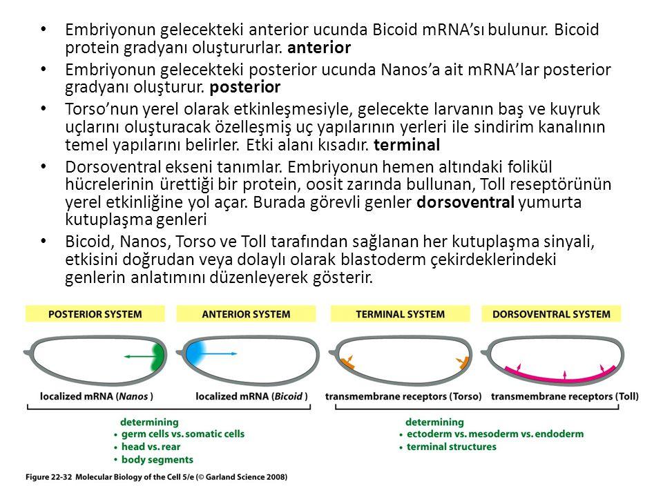 Embriyonun gelecekteki anterior ucunda Bicoid mRNA'sı bulunur. Bicoid protein gradyanı oluştururlar. anterior Embriyonun gelecekteki posterior ucunda