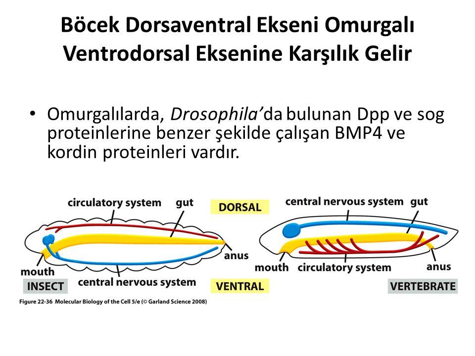 Böcek Dorsaventral Ekseni Omurgalı Ventrodorsal Eksenine Karşılık Gelir Omurgalılarda, Drosophila'da bulunan Dpp ve sog proteinlerine benzer şekilde ç