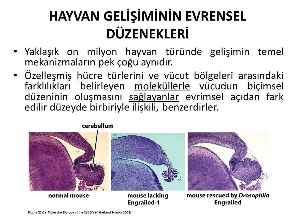 Hayvanlarda Temel Anatomik Özellikler Ortaktır Gelişimi denetleyen genler hayvan türleri arasında benzerdir (ortak bir atadan) Bir hayvan vücudu, koruyucu bir dış katman oluşturan epiderm hücreleri, sindirilmiş yiyeceklerden besin emilimini gerçekleştiren sindirim kanalı hücreleri, hareketi sağlayan kas hücreleri, hareketleri denetleyen sinir ve duyu hücrelerinden oluşmaktadır.
