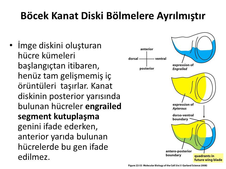 Böcek Kanat Diski Bölmelere Ayrılmıştır İmge diskini oluşturan hücre kümeleri başlangıçtan itibaren, henüz tam gelişmemiş iç örüntüleri taşırlar. Kana