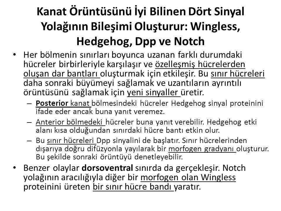 Kanat Örüntüsünü İyi Bilinen Dört Sinyal Yolağının Bileşimi Oluşturur: Wingless, Hedgehog, Dpp ve Notch Her bölmenin sınırları boyunca uzanan farklı d