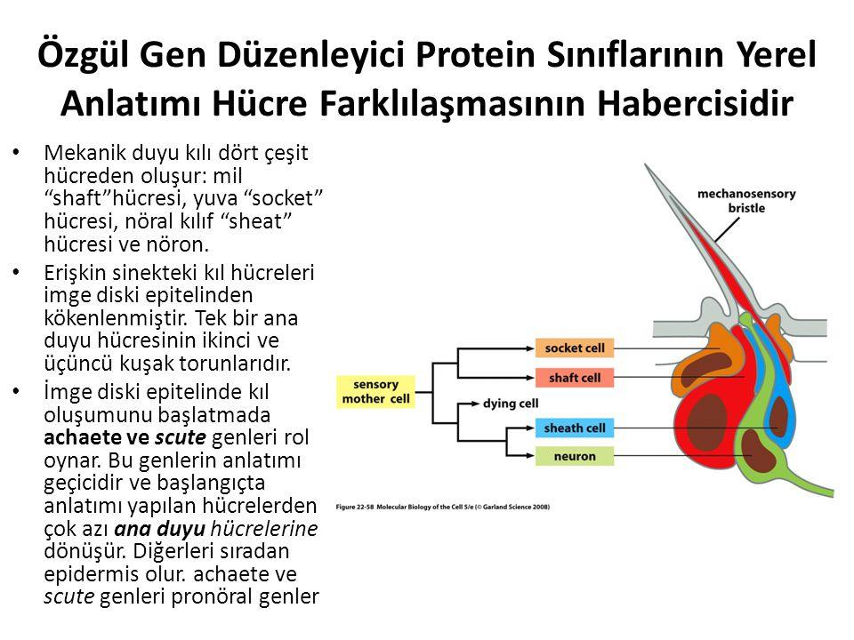 """Özgül Gen Düzenleyici Protein Sınıflarının Yerel Anlatımı Hücre Farklılaşmasının Habercisidir Mekanik duyu kılı dört çeşit hücreden oluşur: mil """"shaft"""