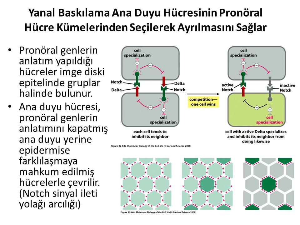 Yanal Baskılama Ana Duyu Hücresinin Pronöral Hücre Kümelerinden Seçilerek Ayrılmasını Sağlar Pronöral genlerin anlatım yapıldığı hücreler imge diski e