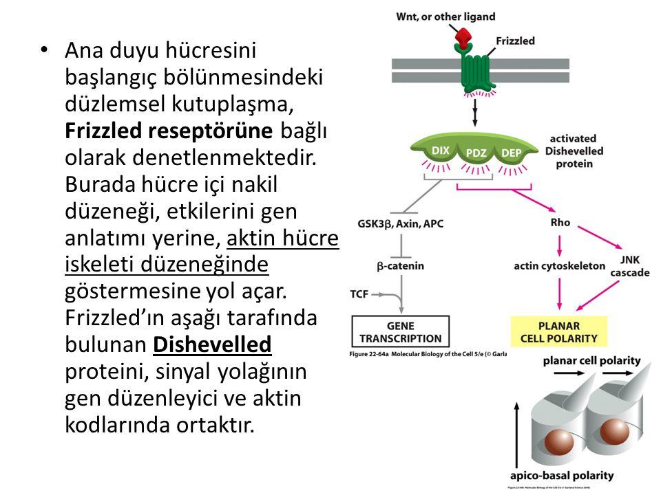 Ana duyu hücresini başlangıç bölünmesindeki düzlemsel kutuplaşma, Frizzled reseptörüne bağlı olarak denetlenmektedir. Burada hücre içi nakil düzeneği,