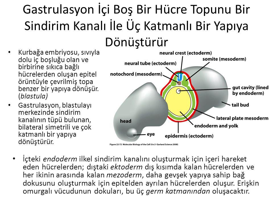 Gastrulasyon İçi Boş Bir Hücre Topunu Bir Sindirim Kanalı İle Üç Katmanlı Bir Yapıya Dönüştürür Kurbağa embriyosu, sıvıyla dolu iç boşluğu olan ve bir
