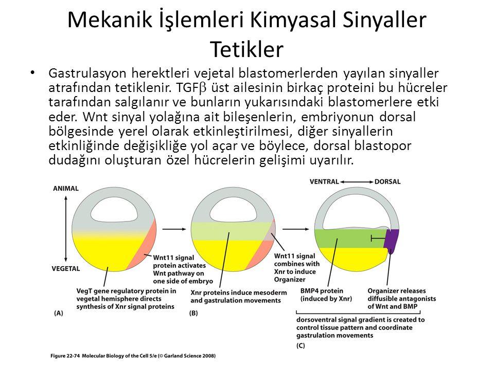 Mekanik İşlemleri Kimyasal Sinyaller Tetikler Gastrulasyon herektleri vejetal blastomerlerden yayılan sinyaller atrafından tetiklenir. TGF  üst ailes
