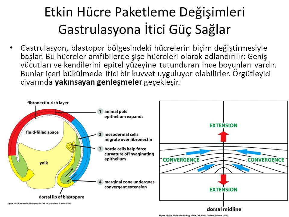 Etkin Hücre Paketleme Değişimleri Gastrulasyona İtici Güç Sağlar Gastrulasyon, blastopor bölgesindeki hücrelerin biçim değiştirmesiyle başlar. Bu hücr