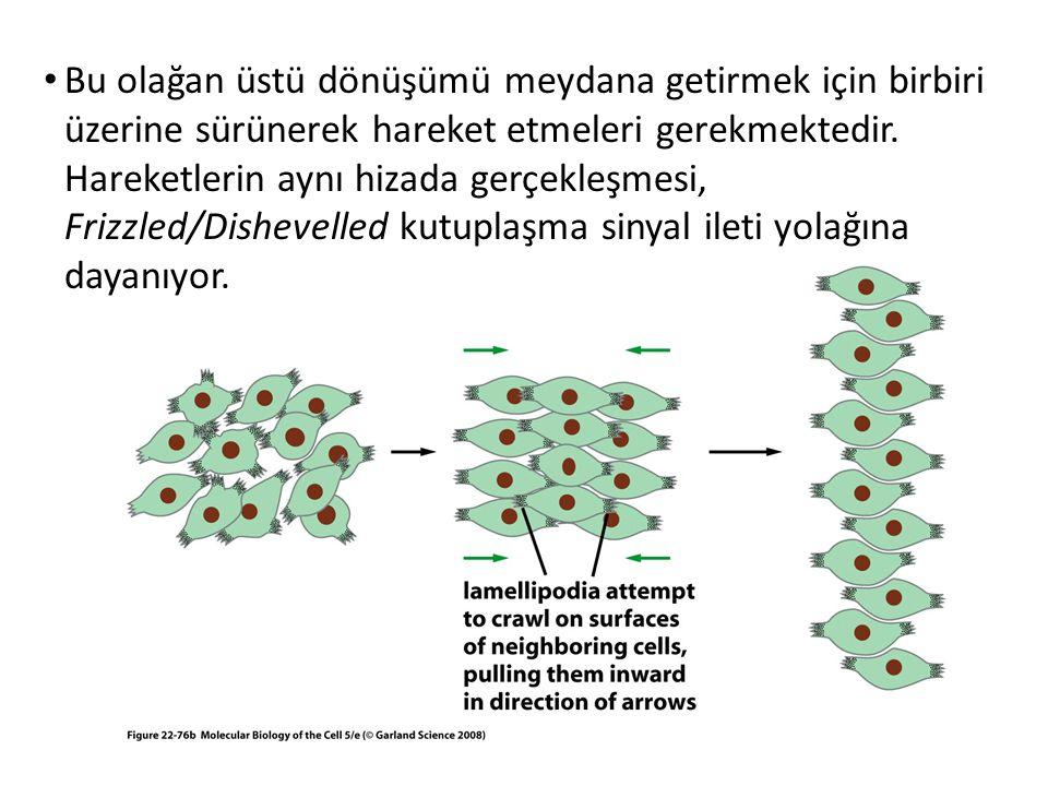 Bu olağan üstü dönüşümü meydana getirmek için birbiri üzerine sürünerek hareket etmeleri gerekmektedir. Hareketlerin aynı hizada gerçekleşmesi, Frizzl