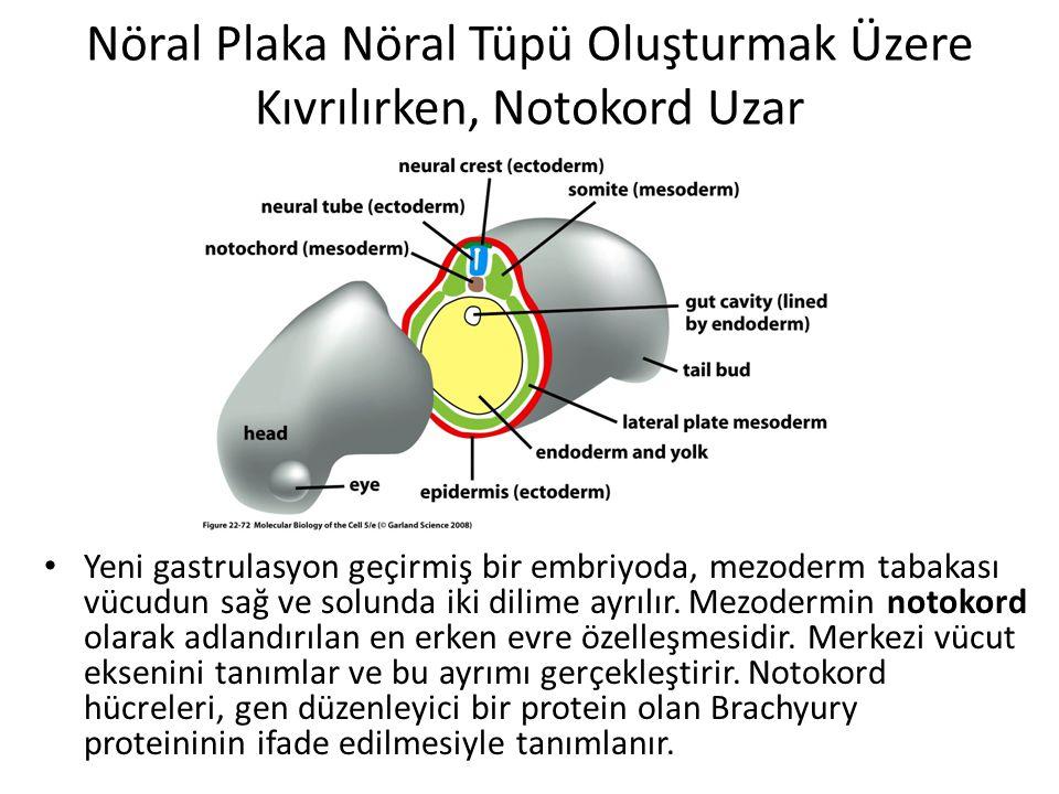 Nöral Plaka Nöral Tüpü Oluşturmak Üzere Kıvrılırken, Notokord Uzar Yeni gastrulasyon geçirmiş bir embriyoda, mezoderm tabakası vücudun sağ ve solunda