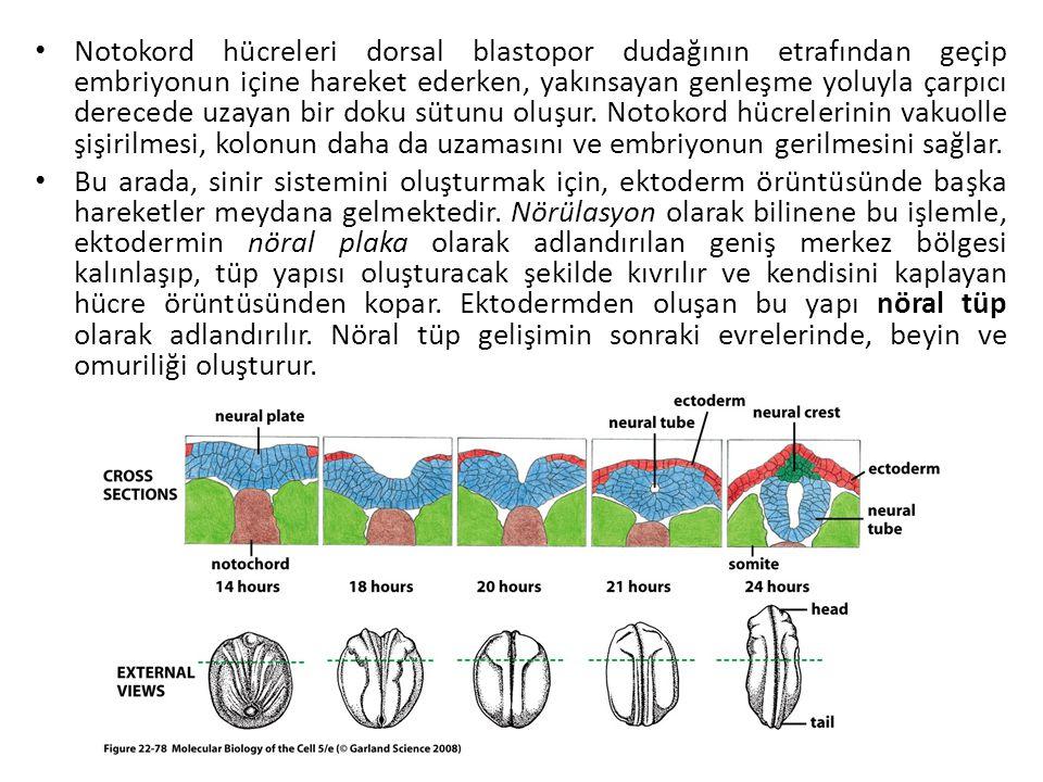 Notokord hücreleri dorsal blastopor dudağının etrafından geçip embriyonun içine hareket ederken, yakınsayan genleşme yoluyla çarpıcı derecede uzayan b