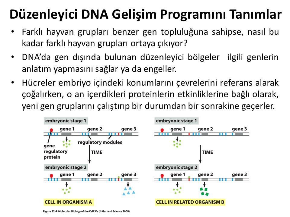 Düzenleyici DNA Gelişim Programını Tanımlar Farklı hayvan grupları benzer gen topluluğuna sahipse, nasıl bu kadar farklı hayvan grupları ortaya çıkıyo