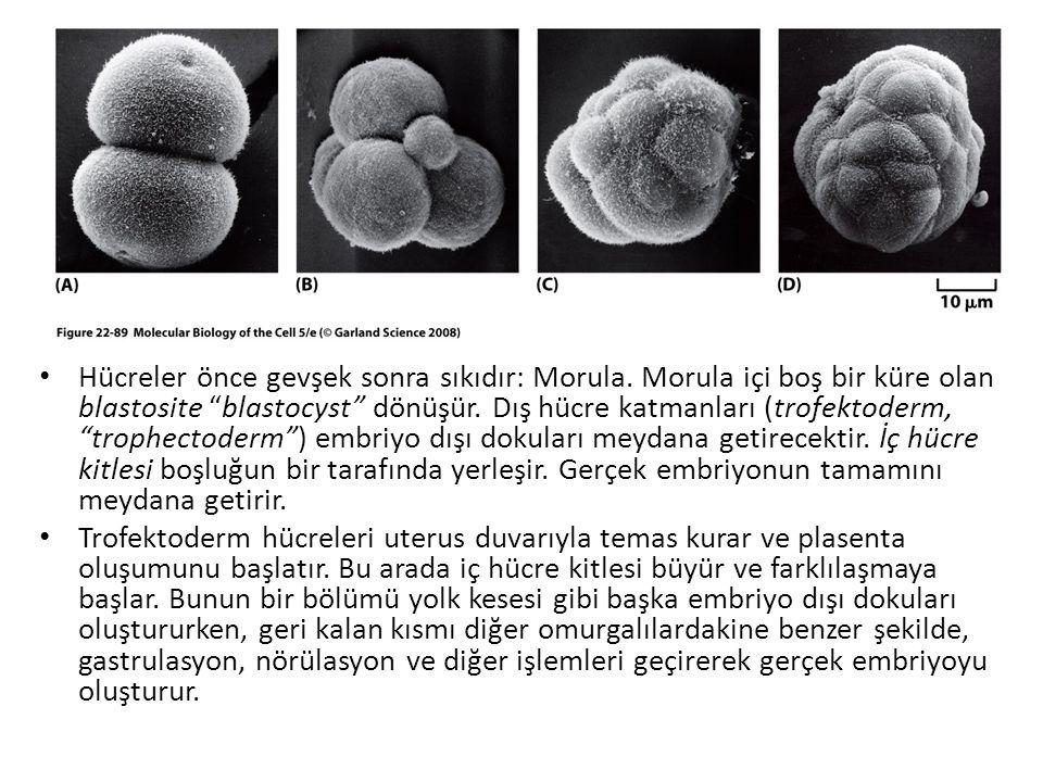 """Hücreler önce gevşek sonra sıkıdır: Morula. Morula içi boş bir küre olan blastosite """"blastocyst"""" dönüşür. Dış hücre katmanları (trofektoderm, """"trophec"""