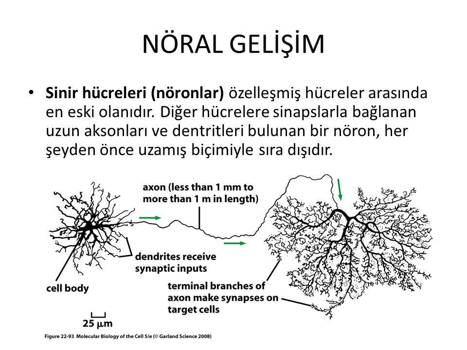 NÖRAL GELİŞİM Sinir hücreleri (nöronlar) özelleşmiş hücreler arasında en eski olanıdır. Diğer hücrelere sinapslarla bağlanan uzun aksonları ve dentrit