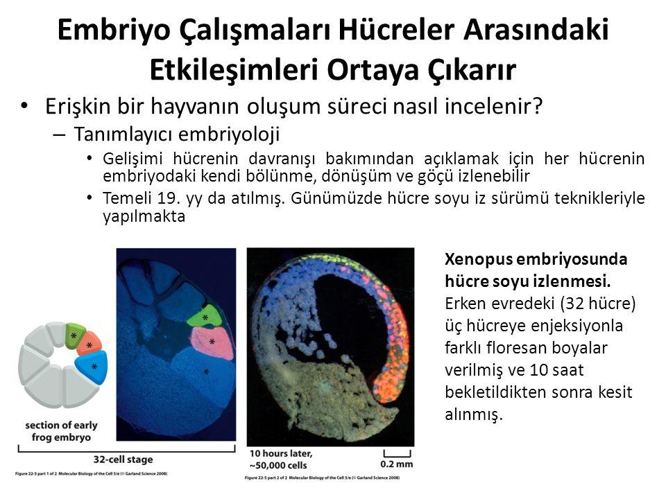 Amfibi Embriyosunun Kutuplaşması Yumurta Kutuplaşmasına Bağlıdır Xenopus yumurtası, büyük bir hücredir.