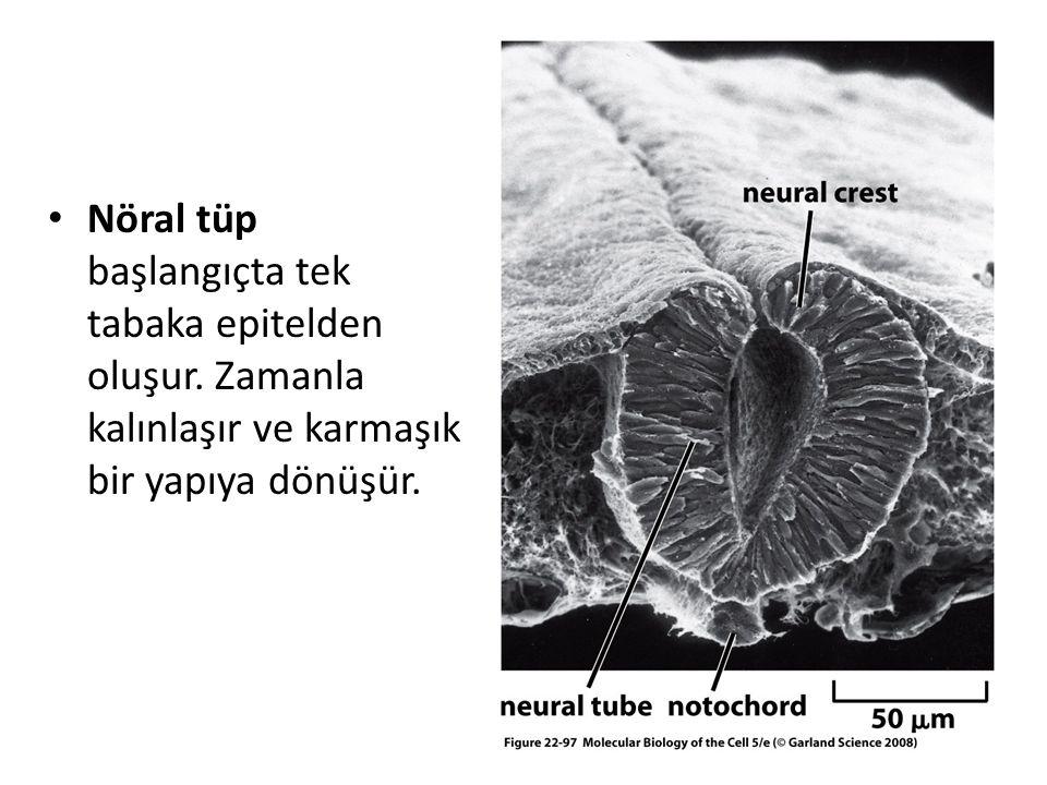 Nöral tüp başlangıçta tek tabaka epitelden oluşur. Zamanla kalınlaşır ve karmaşık bir yapıya dönüşür.