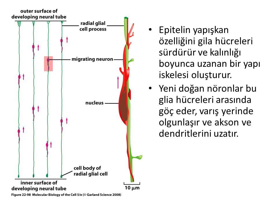 Epitelin yapışkan özelliğini gila hücreleri sürdürür ve kalınlığı boyunca uzanan bir yapı iskelesi oluşturur. Yeni doğan nöronlar bu glia hücreleri ar