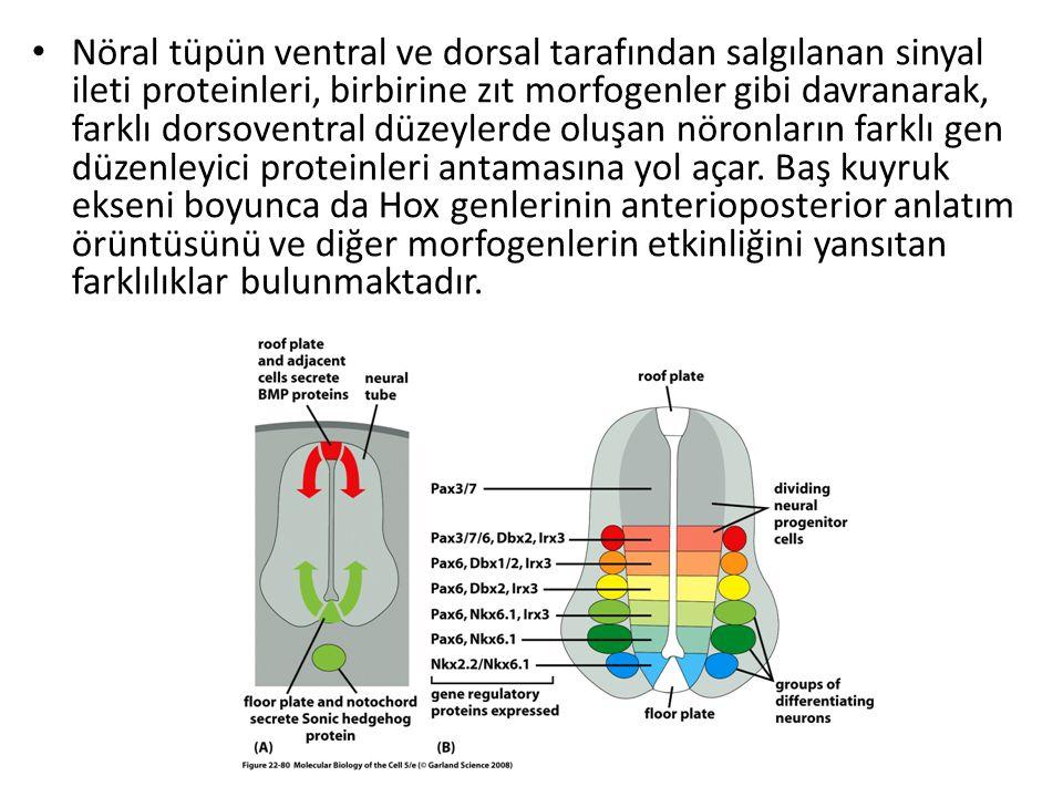 Nöral tüpün ventral ve dorsal tarafından salgılanan sinyal ileti proteinleri, birbirine zıt morfogenler gibi davranarak, farklı dorsoventral düzeylerd