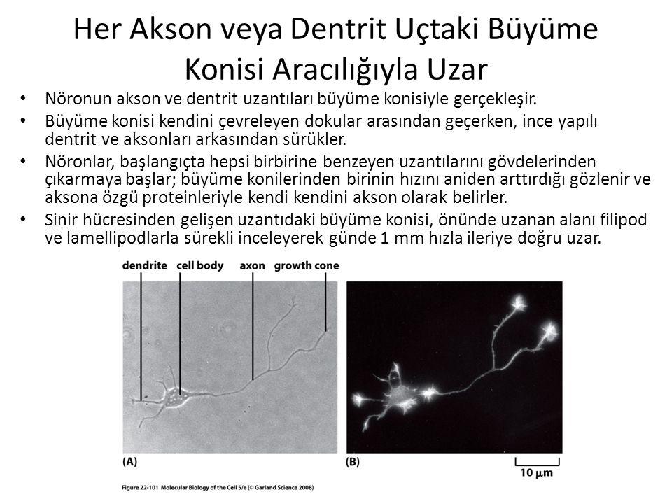 Her Akson veya Dentrit Uçtaki Büyüme Konisi Aracılığıyla Uzar Nöronun akson ve dentrit uzantıları büyüme konisiyle gerçekleşir. Büyüme konisi kendini