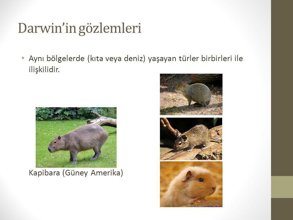 Darwin'in gözlemleri Aynı bölgelerde (kıta veya deniz) yaşayan türler birbirleri ile ilişkilidir. Kapibara (Güney Amerika)