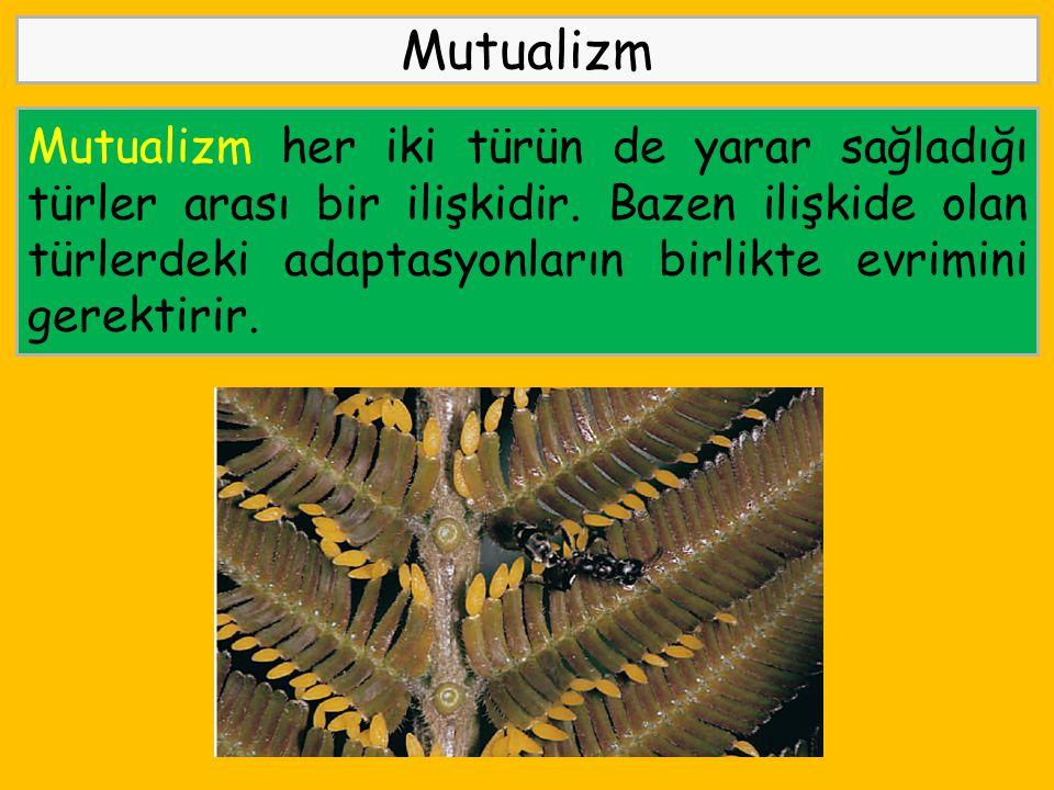 Mutualizm Mutualizm her iki türün de yarar sağladığı türler arası bir ilişkidir. Bazen ilişkide olan türlerdeki adaptasyonların birlikte evrimini gere