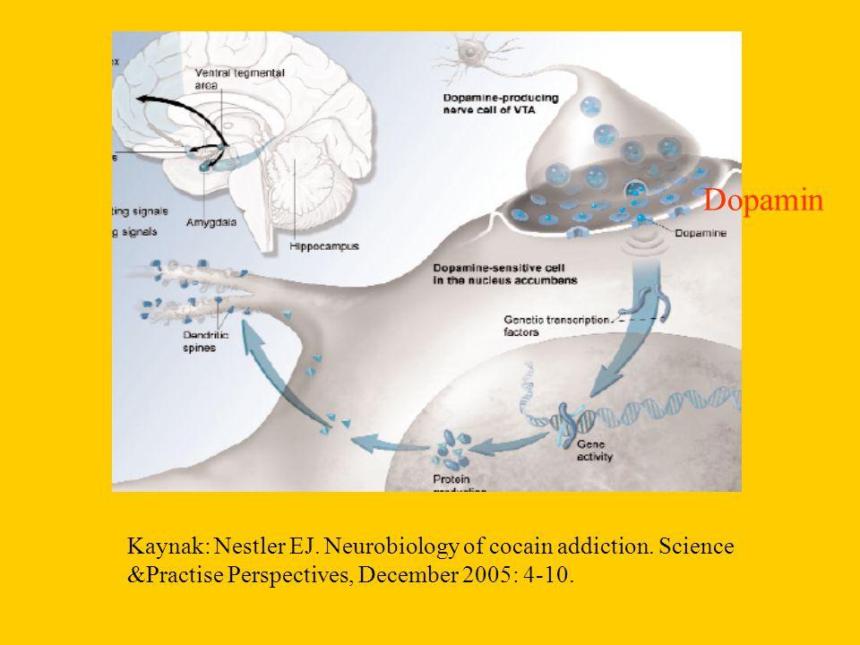 Kaynak: Nestler EJ. Neurobiology of cocain addiction. Science &Practise Perspectives, December 2005: 4-10. Dopamin