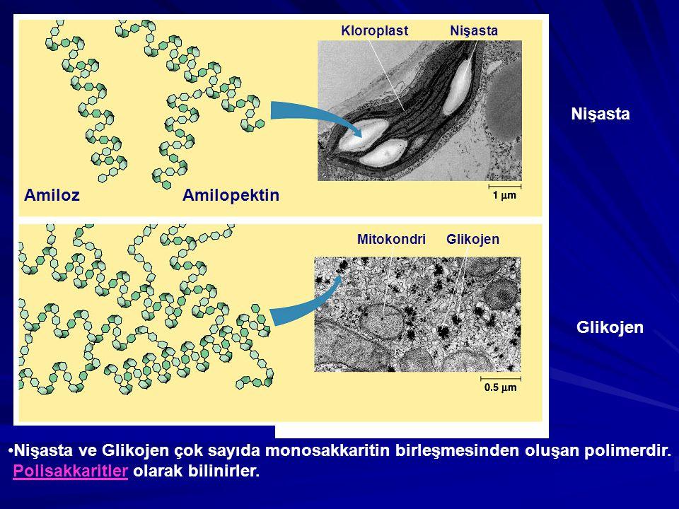 Amiloz Amilopektin Nişasta Glikojen Kloroplast Nişasta Mitokondri Glikojen Nişasta ve Glikojen çok sayıda monosakkaritin birleşmesinden oluşan polimer