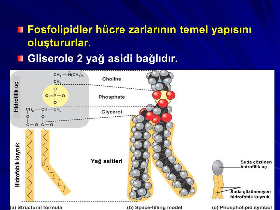 Fosfolipidler hücre zarlarının temel yapısını oluştururlar. Gliserole 2 yağ asidi bağlıdır.